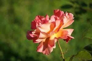 fiore rosa arancione lussureggiante su uno sfondo verde sfocato. foto