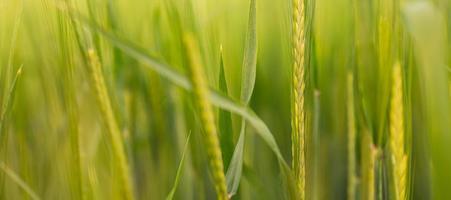 da vicino con il fuoco selettivo sul grano verde con luce soffusa foto