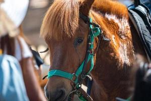 Close up marrone testa di cavallo ritratto, mammifero animale con stabile che vive in una fattoria, natura equestre capelli e volto di cavalla, equino e criniera foto
