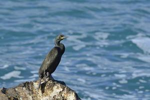 uccello del marangone dal ciuffo foto