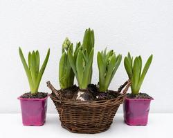 cestino con piante da appartamento foto