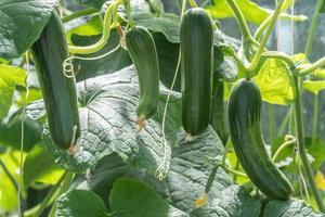 giovane pianta di zucchine foto