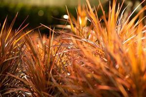Close up orange bush con sfocata bokeh di fondo in background. messa a fuoco selettiva foglie di prato con un alba e un tramonto. foto