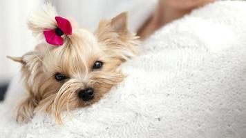 cane con fiocco sulla testa foto