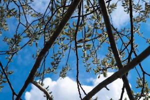 germogli di salice sul cielo blu e nuvole bianche sullo sfondo foto