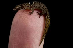 anguilla bank geckolet sphaerodactylus parvus foto