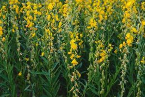 fiore di canapa con fiori e fiori da giardino foto
