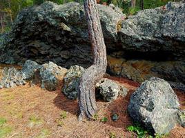 pino ricurvo - una giovane ponderosa in una formazione rocciosa nel campeggio dell'incrocio di mckay - vicino a la pine, o foto