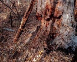 resti di pino in decomposizione presso il ruscello indiano di guado vicino alle sorelle, o foto