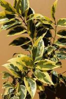 pianta da interno con foglie gialle e verdi foto