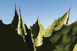 primo piano della pianta di aloe foto