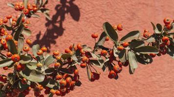 bacche rosse su un ramo foto