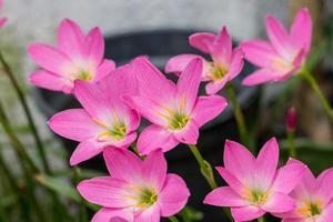giardino di gigli subito dopo la fioritura nella città di rio de janeiro foto