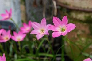 Lily Garden subito dopo la fioritura a Rio de Janeiro, Brasile foto