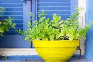 piante in vaso di fiori giallo contro la finestra blu foto