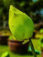 fiore di loto in natura foto
