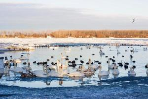 cigni sul fiume Danubio a Belgrado foto
