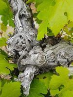 Tronco di vite e foglie lussureggianti dettagli-atmosfera astratta foto
