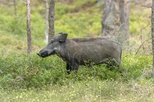 femmina di maiale selvatico nella foresta foto