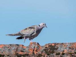 ringdove uccello che cammina foto