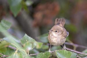 marsh warbler su un ramo foto