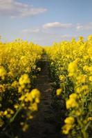 colza gialla su uno sfondo di cielo foto