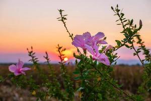 fiori di ibisco e tramonto la sera foto