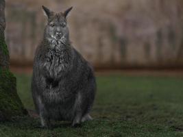 wallaby dal collo rosso foto