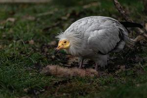 avvoltoio egiziano mangiare foto