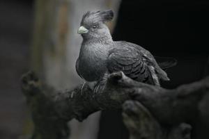 dal ventre bianco va via uccello foto