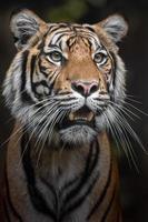 ritratto della tigre di Sumatra foto