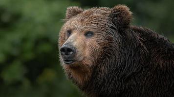 kamchatka orso bruno foto