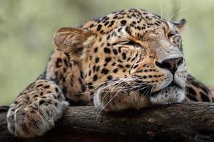 leopardo persiano che dorme foto