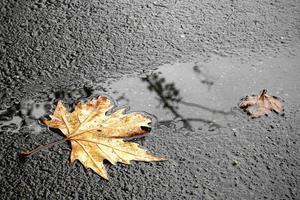 una foglia d'acero secca su una strada asfaltata bagnata foto