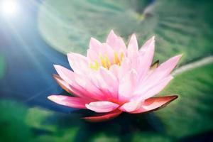 fiore di loto rosa foto