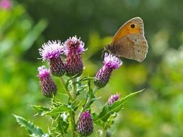 prato farfalla marrone su un fiore di cardo foto