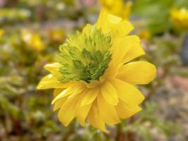 primo piano di un fiore di adonis amurensis hanazono foto