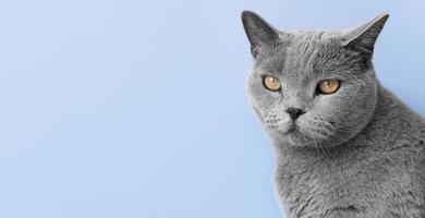 gattino blu russo con sfondo muro monocromatico foto