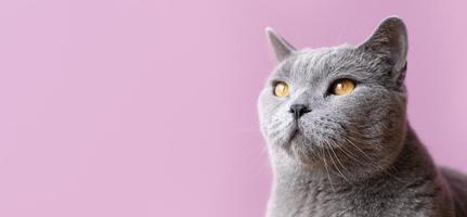 gatto grigio su sfondo rosa foto