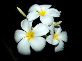 fiori di plumeria in natura foto