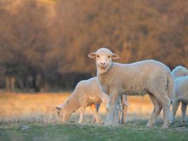 giovane agnello curioso in fattoria foto