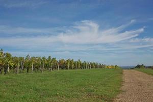 uva in vigna nel sud della Francia in Provenza foto