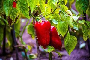 peperoni rossi pronti per essere raccolti foto
