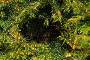 priorità bassa strutturata del brunch dell'albero di abete di natale foto