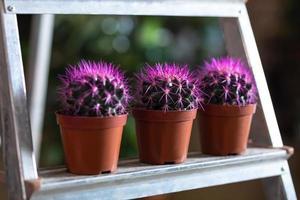 cactus viola in vetrina foto