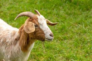 ritratto di una capra domestica marrone e bianca con un prato verde foto