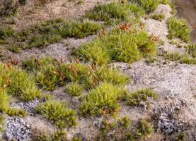 macro colpo di muschio con licheni luminosi su una pietra arenaria foto