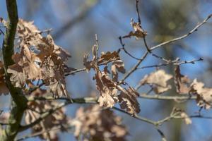 foglie autunnali marroni foglie di quercia davanti al cielo blu foto