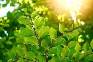 albero verde foglie nella stagione primaverile sfondo verde foto