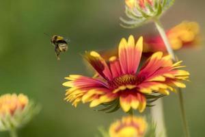 calabrone su un fiore di aster isolato su sfondo verde sfocato foto